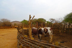 Afrykanina Nguni byki przy Wielkim Kraal w Zululand, Południowa Afryka Obrazy Stock
