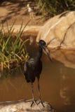 Afrykanina Openbill bocian, Anastomus lamelligerus Obrazy Royalty Free