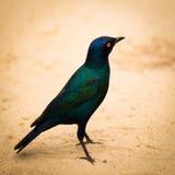 Afrykanina pięknie barwiony ptak w piasku Obraz Stock