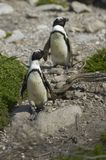 afrykanina podpalani Betty pingwiny s Obrazy Royalty Free