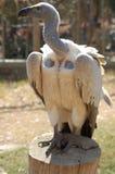 afrykanina podparty sępa biel Zdjęcie Royalty Free