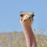 afrykanina prętowa eilat hai natury strusia rezerwa Zdjęcie Stock
