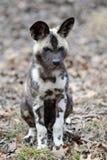 afrykanina psa ciucia dzika Zdjęcie Stock