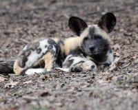 afrykanina psa ciucia dzika Obraz Royalty Free