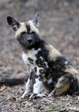 afrykanina psa ciucia dzika Obrazy Royalty Free
