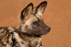 afrykanina psi dziki Fotografia Royalty Free