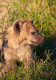 afrykanina psi lycaon pictus dziki Obraz Royalty Free