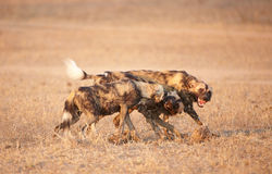 afrykanina psi lycaon pictus dziki Zdjęcie Stock