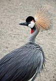 Afrykanina Ptak Koronowany Dźwigowy Obrazy Stock