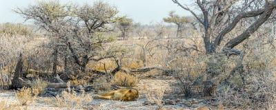 Afrykanina pustynny landsape z sypialną lwicą Zdjęcie Royalty Free