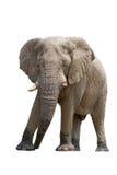 Afrykanina pustynny słoń odizolowywający na białym tle Zdjęcia Royalty Free
