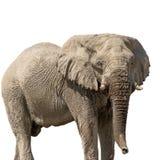 Afrykanina pustynny słoń odizolowywający na białym tle Zdjęcie Stock