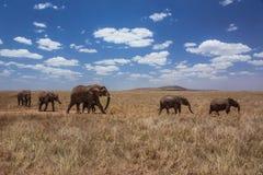 Afrykanina słonia krajobrazowa chodząca rodzina Zdjęcia Stock