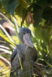 Afrykanina Shoebill Balaeniceps bocianowy rex Fotografia Stock