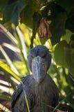 Afrykanina Shoebill Balaeniceps bocianowy rex Obraz Royalty Free