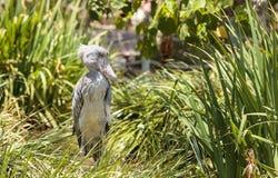 Afrykanina Shoebill Balaeniceps bocianowy rex Zdjęcie Royalty Free