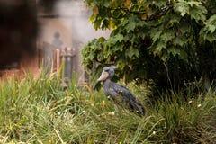 Afrykanina Shoebill Balaeniceps bocianowy rex Fotografia Royalty Free
