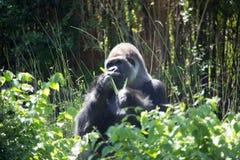 Afrykanina srebra Z powrotem goryl Zdjęcie Royalty Free
