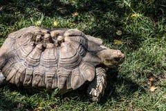 Afrykanina Sulcata Tortoise w trawie Zdjęcia Stock