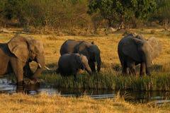 afrykanina target727_0_ słoni stado Fotografia Stock
