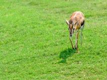 Afrykanina Thomson ` s gazela Zdjęcie Stock