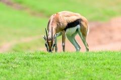 Afrykanina Thomson ` s gazela Obraz Stock