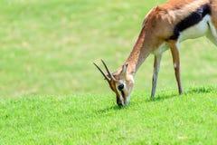 Afrykanina Thomson ` s gazela Zdjęcia Stock