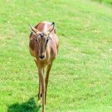 Afrykanina Thomson ` s gazela Zdjęcie Royalty Free