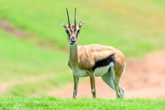 Afrykanina Thomson ` s gazela Fotografia Royalty Free