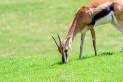 Afrykanina Thomson ` s gazela Zdjęcia Royalty Free