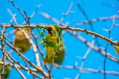 Afrykanina tkacza zamaskowany ptak (Ploceus velatus) Zdjęcie Royalty Free