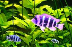 afrykanina tropikalny rybi jeziorny Zdjęcia Royalty Free