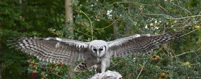 Afrykanina Verreaux orła sowa Obraz Royalty Free