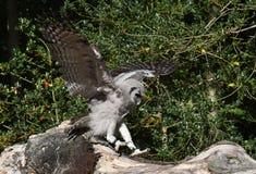 Afrykanina Verreaux orła sowa Zdjęcia Royalty Free