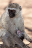 Afrykanina Vervet małpa Fotografia Stock
