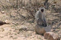 Afrykanina Vervet małpa Obrazy Royalty Free
