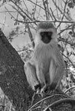 Afrykanina Vervet małpa Obrazy Stock