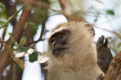 Afrykanina Vervet małpa w drzewie Obraz Royalty Free