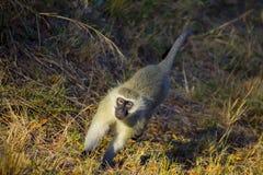 Afrykanina Vivd małpy odprowadzenie wzdłuż drogi Zdjęcia Stock