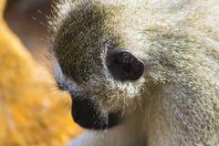 Afrykanina Vivd małpy odprowadzenie wzdłuż drogi Zdjęcie Royalty Free