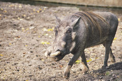 Afrykanina Warthog odprowadzenie Fotografia Stock