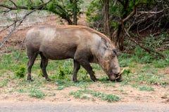 Afrykanina Warthog Phacochoerus africanus Fotografia Stock