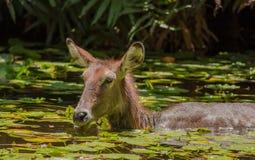 Afrykanina Waterbuck karmienie w wodzie Fotografia Royalty Free