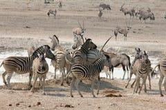 Afrykanina Waterhole akcja Obraz Stock
