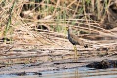 Afrykanina Wattled czajka rzeką Obrazy Royalty Free