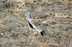 Afrykanina Wattled czajka - Vanellus senegallus Obraz Stock