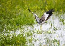 Afrykanina Wattled czajki lądowanie Zdjęcie Stock