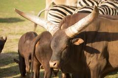 Afrykanina Watusi bydło, Bos primigenius uwypukla wielkich rogi Obraz Royalty Free
