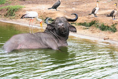 afrykanina zabranie kąpielowy bawoli Obrazy Royalty Free