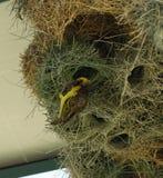Afrykanina zamaskowany tkacz w jego gniazdeczku Zdjęcia Royalty Free